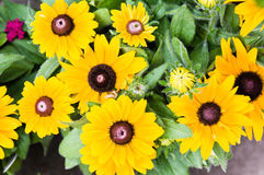 Yellow daisy flowers in bloom. Yellow daisy flowers in full bloom Royalty Free Stock Image