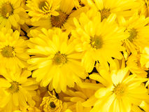 Yellow daisy flowers in a bunch. Bouquet of yellow flowers. Detail of a bunch of daisy flowers. Fresh daisy flowers at sunny autumn day. Many beautiful yellow royalty free stock photography