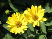 Yellow daisy. Flowers in the garden royalty free stock photography