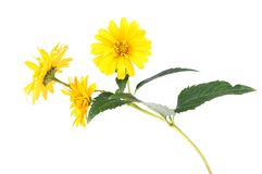 Yellow daisy flowers isolated on white background Royalty Free Stock Photo