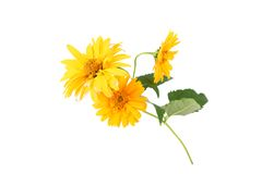Yellow daisy flowers isolated on white background royalty free stock image