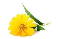 Yellow daisy flowers isolated on white background Stock Image