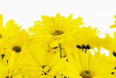 Yellow Daisy Flowers on Isolated White Background Royalty Free Stock Photos