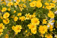 Yellow daisy flowers meadow field in garden, bright day light. beautiful natural blooming daisies in spring summer. Royalty Free Stock Photography