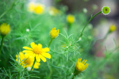 Yellow daisy flowers in the park Royalty Free Stock Photo