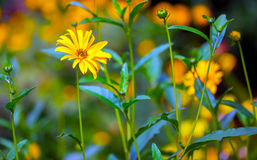 Yellow Daisy Flowers Royalty Free Stock Photography