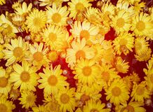 Yellow  daisy flowers  on red background Royalty Free Stock Photo
