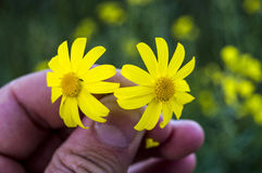 Yellow Daisy flowers,Sidewalks, ornamental flowers, natural colored flowers, city ornamental flowers, flowers between stones, royalty free stock photos