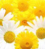 Yellow daisy flowers Stock Photos