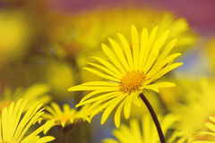 Yellow daisy flowers in spring Royalty Free Stock Photography