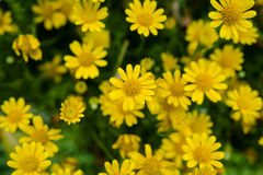 Yellow daisy Royalty Free Stock Photos