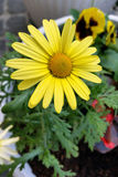 Yellow daisy. In the garden Royalty Free Stock Photos