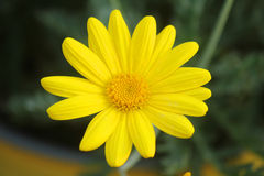 Yellow daisy in the garden. A yellow gerbera in the garden Royalty Free Stock Images