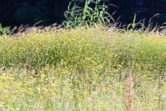 yellow daisy in a garden Royalty Free Stock Photo