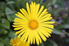 Yellow Daisy. Garden Plant Yellow Daisy Blurred Background Stock Photography