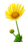 Yellow daisy gerber Stock Photography