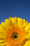 Yellow daisy gerber detail. Detail of a beautiful yellow daisy gerber in a wonderful sunny day of spring. Space for text stock image