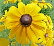 Yellow Daisy royalty free stock photo