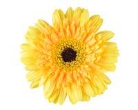 Yellow daisy-gerbera Royalty Free Stock Image
