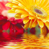 Yellow daisy-gerbera Stock Photo