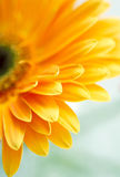 Yellow daisy-gerbera Stock Photography