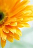 Yellow daisy-gerbera Stock Photography