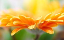 Yellow daisy-gerbera Stock Images