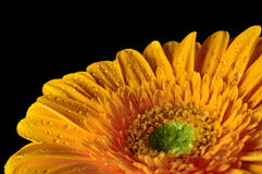 Yellow Daisy Gerbera Flower with raindrops. On a black bockground Royalty Free Stock Photography