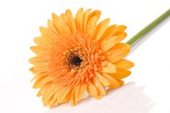 Yellow daisy-gerbera with water drops Royalty Free Stock Image