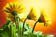 Yellow daisy-gerberas Stock Photos