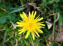 The yellow daisy on the grass field Royalty Free Stock Photo