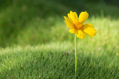 Yellow daisy in grass Stock Photography