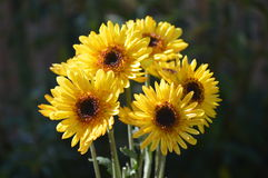 Yellow Daisy Heads Royalty Free Stock Photography