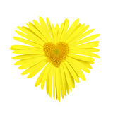 Yellow daisy with heart in center stock photos