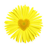 Yellow daisy with heart in center Stock Photo
