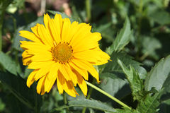 Yellow daisy (Heliopsis). Flower in summer garden Stock Photos