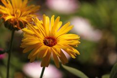 Yellow daisy and honey bee. Yellow daisy honey bee and sunshine garden Royalty Free Stock Image