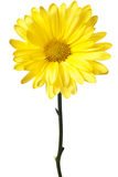 Yellow daisy isolated Stock Photo