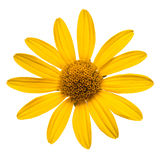 Yellow daisy isolated on white Stock Photos