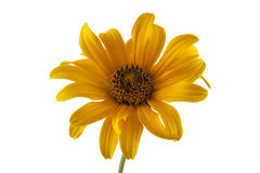 Yellow daisy isolated on white Stock Photography