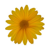 Yellow daisy isolated on white background. Vector illustration Royalty Free Stock Images