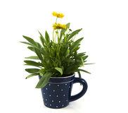 Yellow daisy isolated on white in blue cup Royalty Free Stock Photo