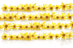 Yellow daisy line up Stock Photography