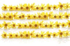 Yellow daisy line up. Yellow daisy arrange as 4 lines Stock Photography
