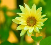 Yellow Daisy Macro Royalty Free Stock Photo