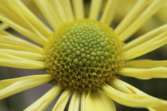 Yellow daisy macro Stock Photo