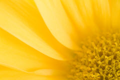 Yellow Daisy Macro Stock Image