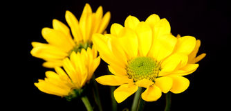 Yellow Daisy Macro Royalty Free Stock Photos