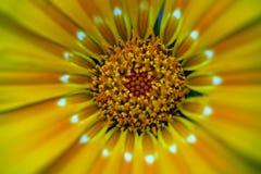 Yellow daisy macro Royalty Free Stock Image