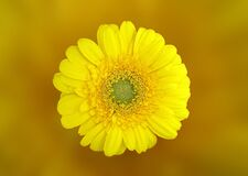 Yellow Daisy in Macro Shot Royalty Free Stock Photos
